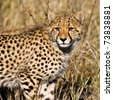 Cheetah (Acinonyx jubatus soemmeringii) in the Okavango Delta, Botswana - stock photo