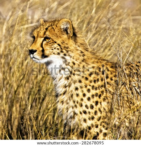 Cheetah (Acinonyx jubatus soemmeringii) in the Okavango Delta, Botswana - stock photo
