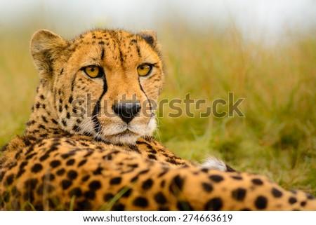 Cheetah (Acinonyx jubatus) staring at the camera - stock photo