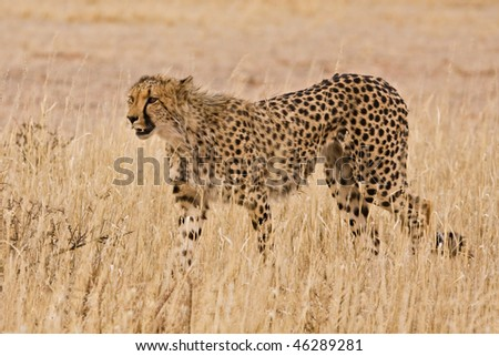 Cheetah (Acinonyx jubatus) walking in the Kalahari - stock photo