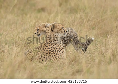 Cheetah (Acinonyx jubatus) - With Cub on Watch