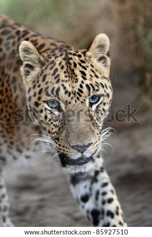 cheetah animal closeup - stock photo