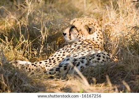 Cheetah at rest (Acinonyx jubatus) - stock photo