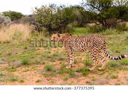 Cheetah at the Naankuse Wildlife Sanctuary, Namibia, Africa - stock photo
