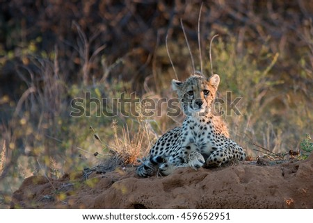 Cheetah baby at sunset lying on the African savannah, looking sadly into the distance - stock photo
