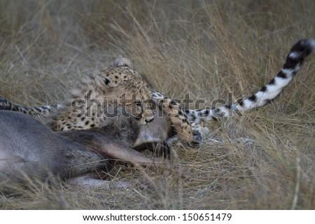 Cheetah bite killing prey - stock photo