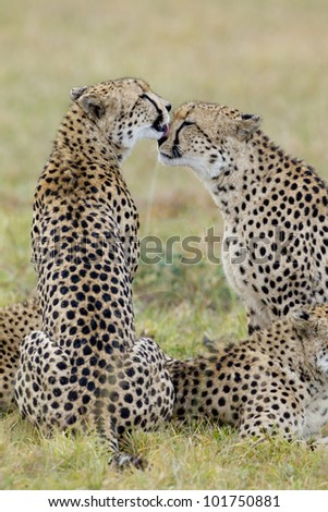Cheetah brothers (Acinonyx jubatus) grooming each other in South Africa - stock photo