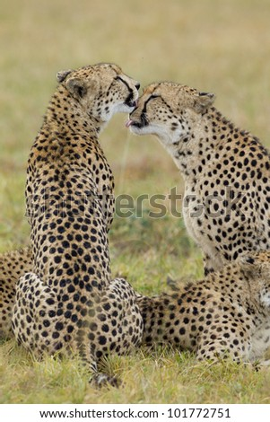 cheetah brothers grooming each other (Acinonyx jubatus) South Africa - stock photo