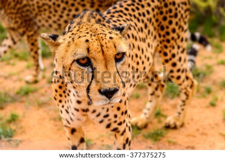 Cheetah close view at the Naankuse Wildlife Sanctuary, Namibia, Africa - stock photo