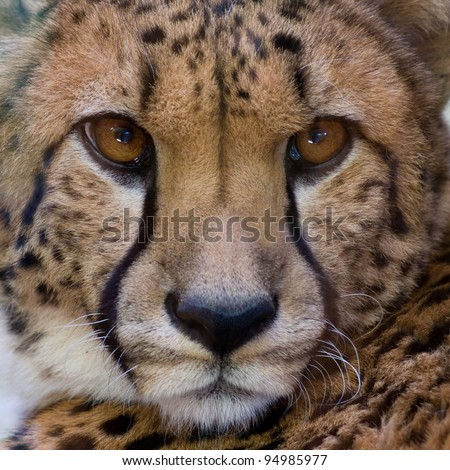 Cheetah closeup - stock photo