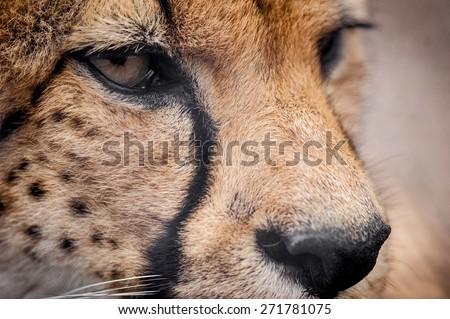 cheetah closeup detail of a head - stock photo