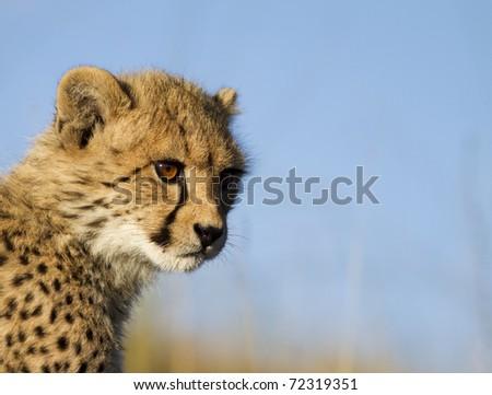 Cheetah cub - stock photo