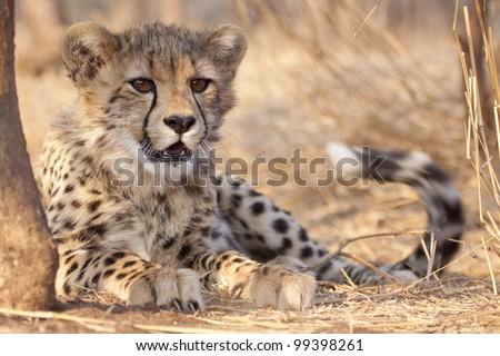 Cheetah cub (Acinonyx jubatus) lying under a tree, South Africa - stock photo