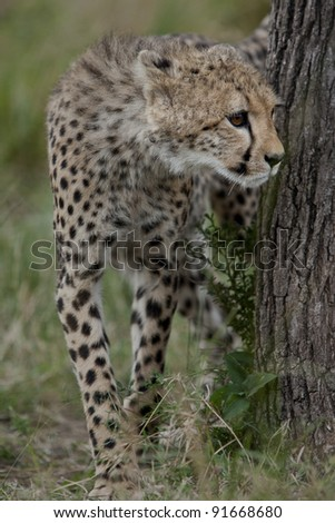 cheetah cub looking around a tree in the Masai Mara National Park in Kenya, Africa - stock photo