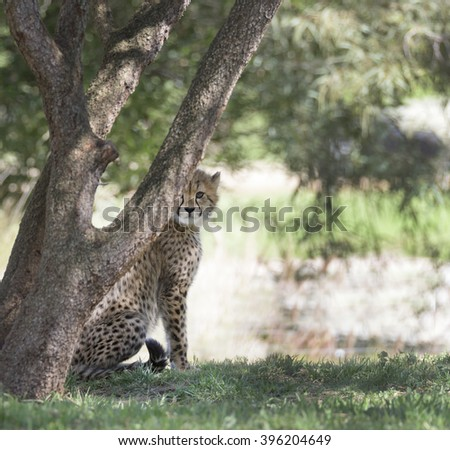 Cheetah cub peeking out from behind a tree