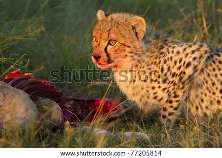 Cheetah cub with kill - stock photo