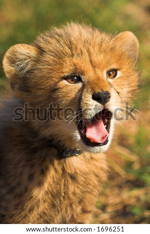 Cheetah Cub Yawning - stock photo