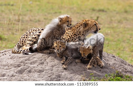 Cheetah Cubs and Mom on the Rock - stock photo