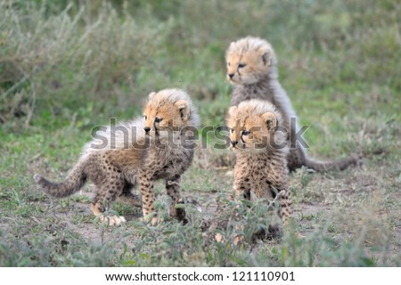 Cheetah cubs at Serengeti National Park in Tanzania - stock photo