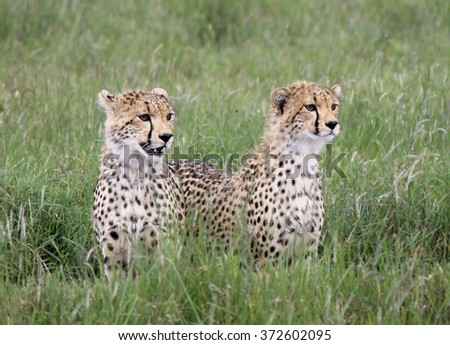 Cheetah Cubs in Kenya