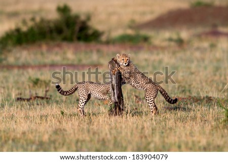 Cheetah cubs playing in Masai Mara, Kenya - stock photo