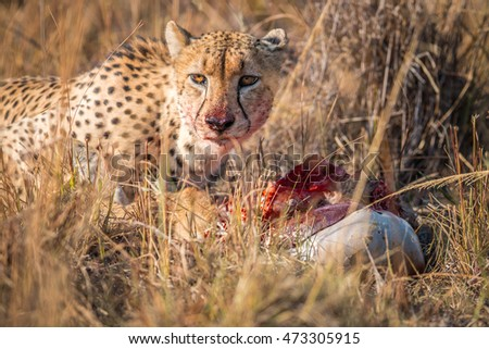 Cheetah eating from a Reedbuck carcass in the Kruger National Park, South Africa.