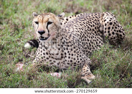Cheetah eating its meal in Serengeti National park, Tanzania, Africa - stock photo