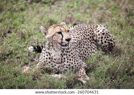 Cheetah eating its meal in Serengeti National park, Tanzania, East Africa  - stock photo