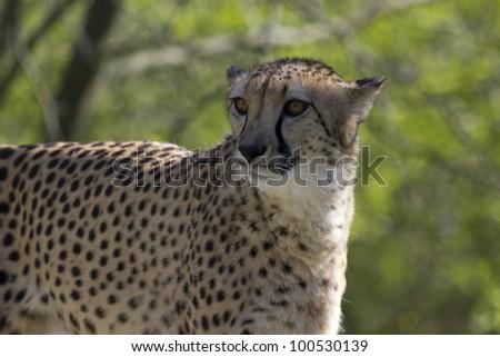 Cheetah Face Close Up - stock photo