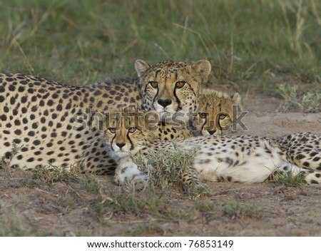 Cheetah family - stock photo