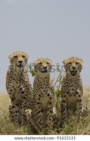 Cheetah family in the Masai Mara - stock photo