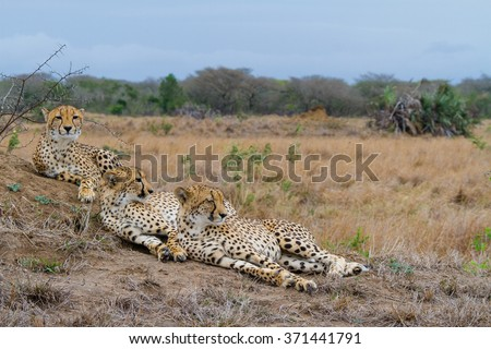 Cheetah family resting on a termite mound