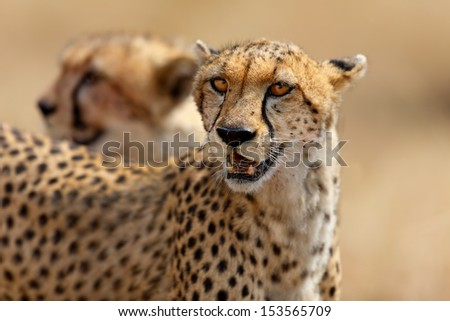 Cheetah female Narasha and cub in the background after hunting a Thomson gazelle in Masai Mara, Kenya. The hair of the gazelle are still to be seen in her mouth. - stock photo