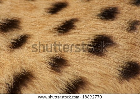 Cheetah fur background