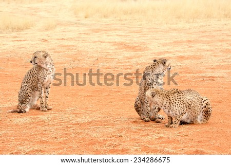 Cheetah, Game Reserve, Namibia - stock photo