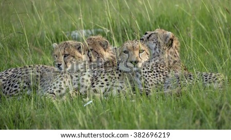 Cheetah Imani with her cubs - stock photo