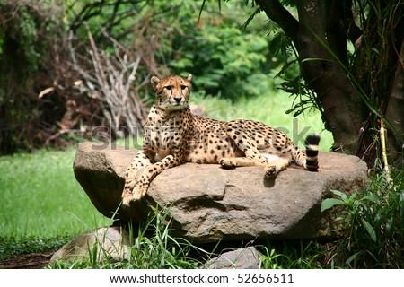 Cheetah in a natural habitat - stock photo