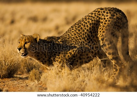 Cheetah in Namibia Africa - stock photo