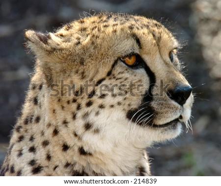 Cheetah in profile - stock photo