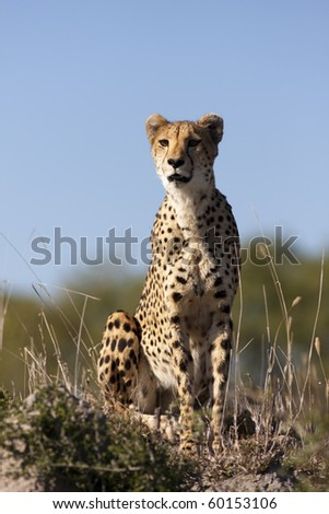 Cheetah in sabi sands game reserve, south africa - stock photo