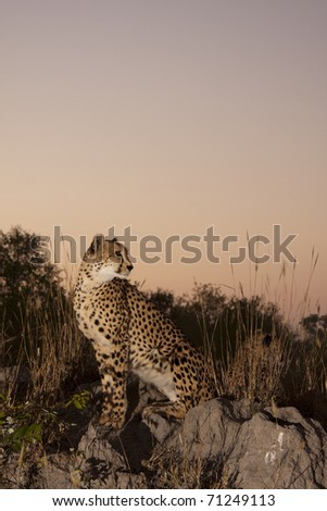 Cheetah in Sabi Sands Private Game Reserve, South Africa - stock photo