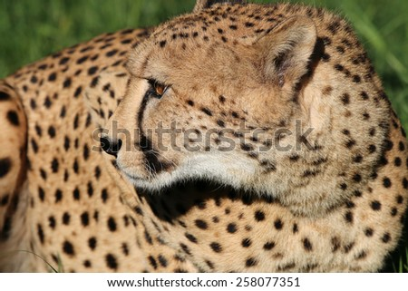 Cheetah in South Africa - stock photo