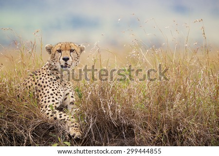 Cheetah in the long grass looking at the camera - stock photo