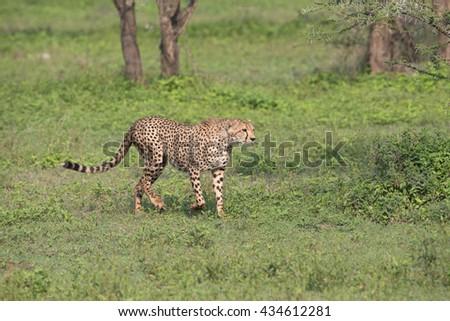 Cheetah in the Serengeti preserve, Tanzania Africa - stock photo