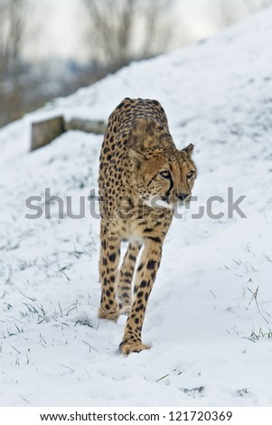 Cheetah in the snow unusually - stock photo