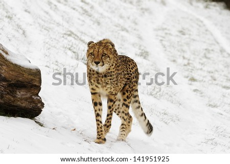 cheetah in the winter - stock photo