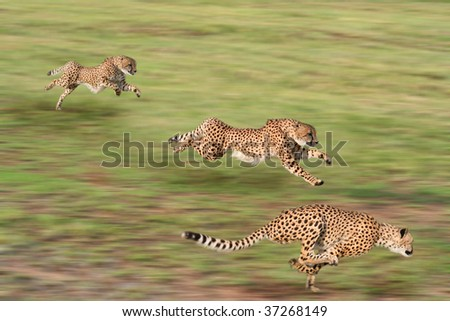 Cheetah in various states of the hunt