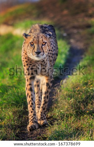 cheetah is coming to us - stock photo