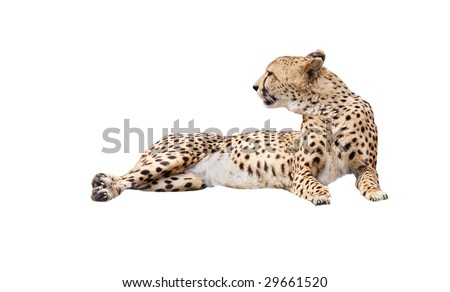 Cheetah isolated on white  lying down and look in - stock photo