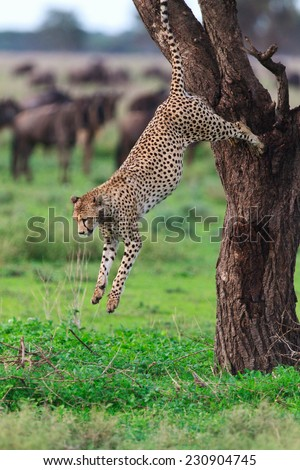 Cheetah jumping from tree in Southern Serengeti, Tanzania - stock photo
